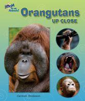 Orangutans up Close