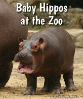 Baby Hippos at the Zoo