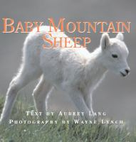 Baby Mountain Sheep