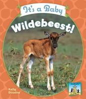 It's A Baby Wildebeest!